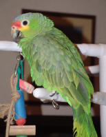 Charlie - Our Red-lored Amazon Parrot
